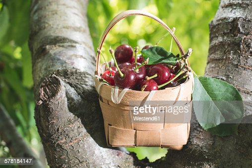 Morello Cherries in a basket on a tree