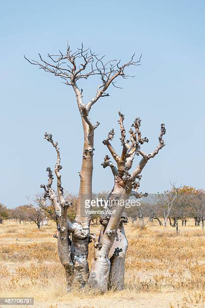 Moringa -Moringa ovalifolia-, Etosha National Park, Namibia
