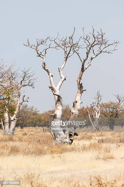 Moringa tree -Moringa ovalifolia-, Fairytale Forest, Sprokieswood, Etosha National Park, Namibia