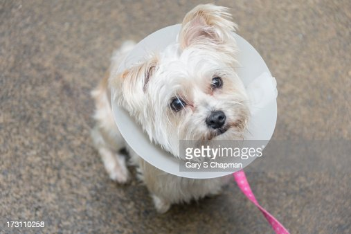 Morkie dog wearing a cone of shame : Stock Photo