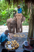 Morning breakfast for elephants at the Four Seasons Tented Camp in Thailand's Golden Triangle Set on several hectares of land that looks over Burma...