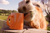 Funny image showing Brown horse head trying to taste an orange cup so that it appears the horse is drinking coffee.