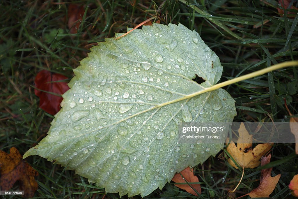 Morning dew rests on a fallen Autumn leaf at The National Trust's Tatton Park on October 17, 2012 in Knutsford, England. As summer draws to a close the cooler temperatures bring on the Autumn foliage colours.