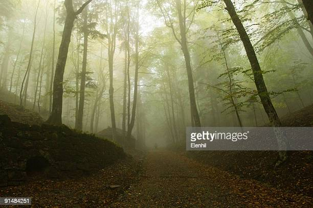 Morning fog in a beech forest, early Autumn