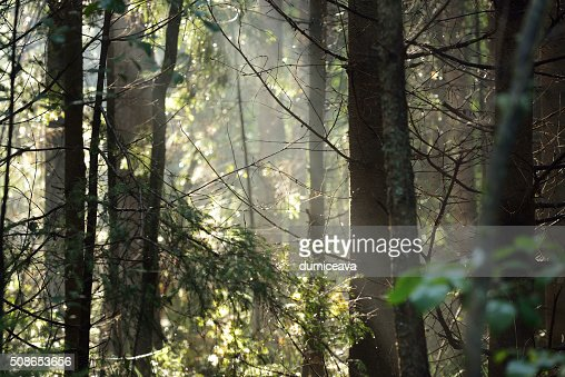 Morning fog in a dark and mystical forest in Latvia : Stock Photo