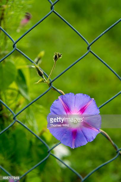 Morning Glory flower ( Ipomoea Tricolor)