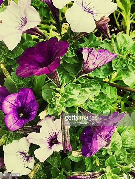 Morning Glory Flowers Blooming Outdoors