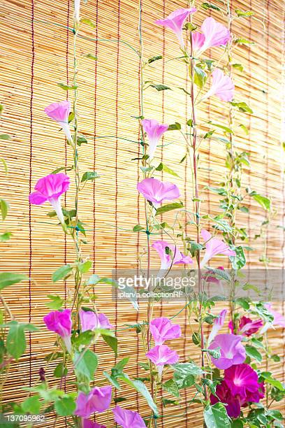 Morning Glory Flowers
