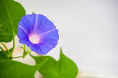 The flower of a morning glory withers around noon.