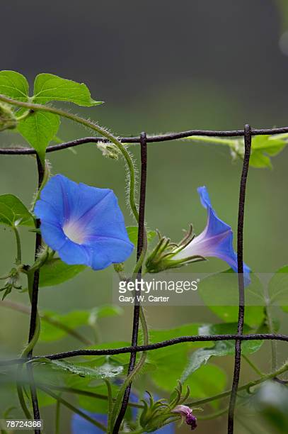 Morning Glorys on Fence