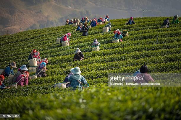 Morning harvest at tea field