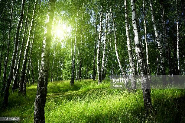 Morning in birch forest