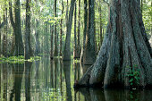 Huge Cypress tree soaks up the morning sun in a South Louisiana Swamp