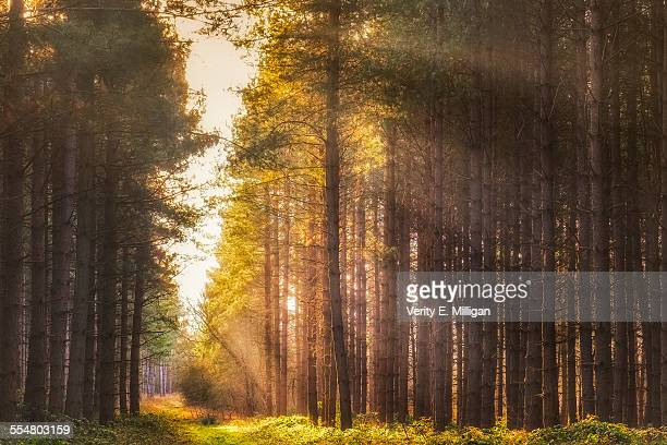 Morning Light through Pine Forest