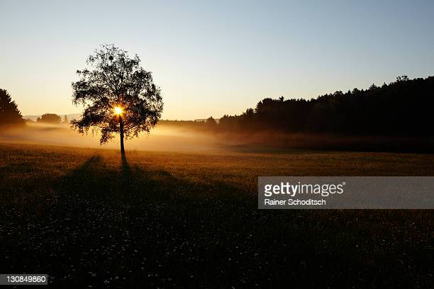 Morning mood with sunrise behind a tree standing in fog