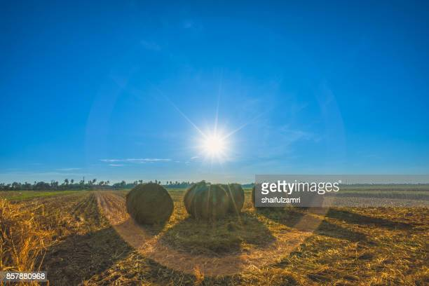 A morning scenery with rolls of haystack in Sungai Besar, Malaysia