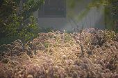 Morning sun beam on ripe fluffy grass at sunrise