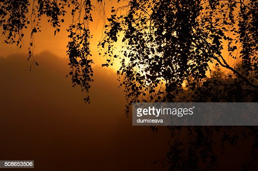 Morning sun in the tree foliage in strong fog : Stock Photo