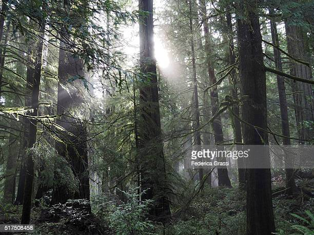 Morning Sun Rays in Del Norte Coast Redwoods Forest