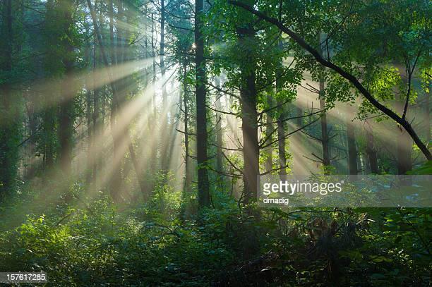 Morning Sunlight Filtering Through Foggy Forest in Summer