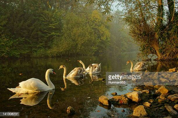 Morning swans in river