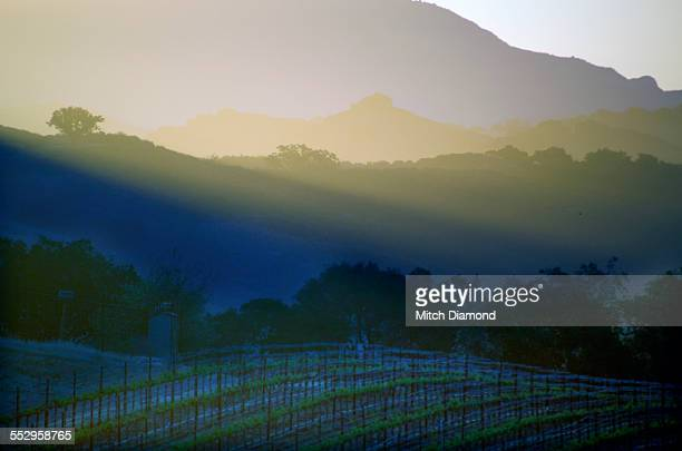 Morning vineyards in Santa Ynez