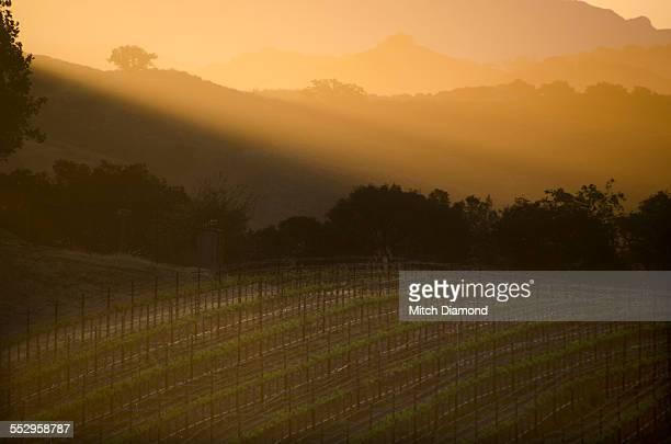 Morning vineyards in Santa Ynez