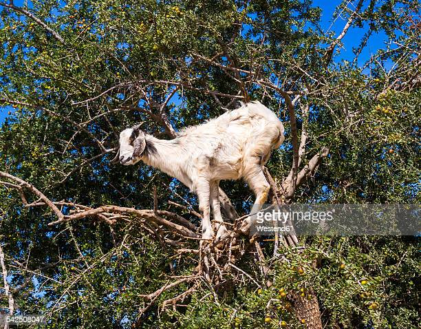 Morocco, Marrakech-Tensift-Al Haouz, Essaouira, Goat climbing in argan tree, eating argan nuts