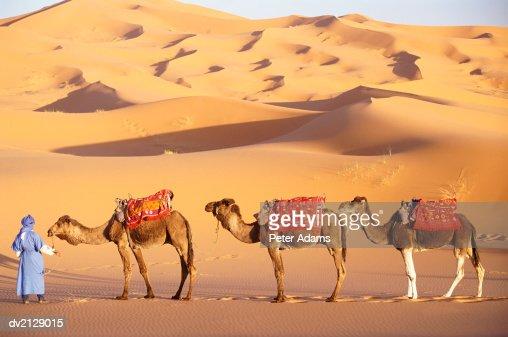 Morocco, Sahara Desert, man holding three camels