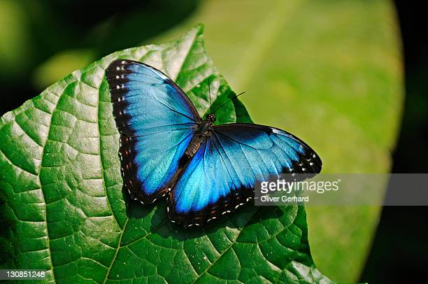 Morpho butterfly, Costa Rica, Central America