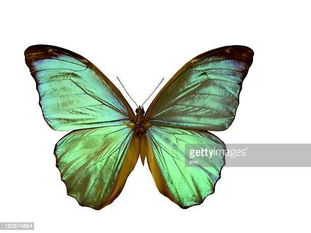 Papillon Morpho-isolé sur blanc