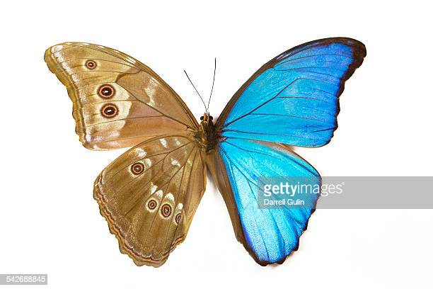 Morpho Butterfly top wing right & bottom left