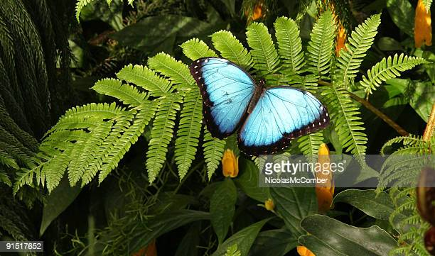 Morpho Helenor Butterfly with wings spread on fern