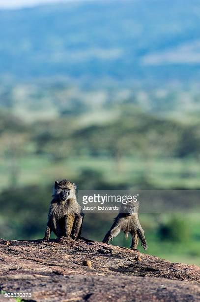 Juvenile Olive Baboons playing on top of a rocky granite outcrop known as a kopje.