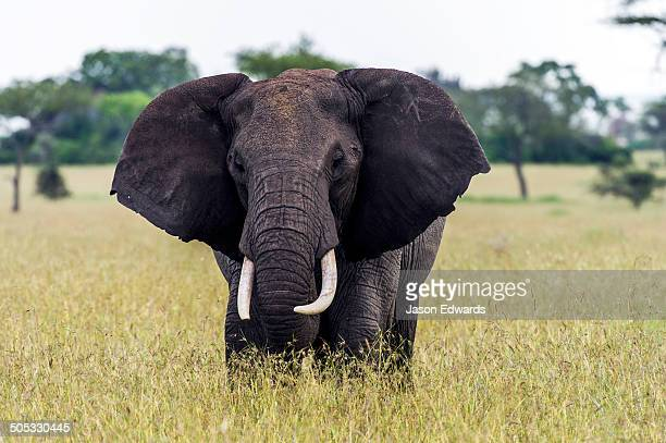 An African Elephant flapping it's ears whilst grazing on grasses on the savannah.