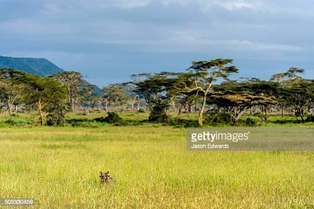 A Warthog peers through a grassland plain bordered by acacia woodland.