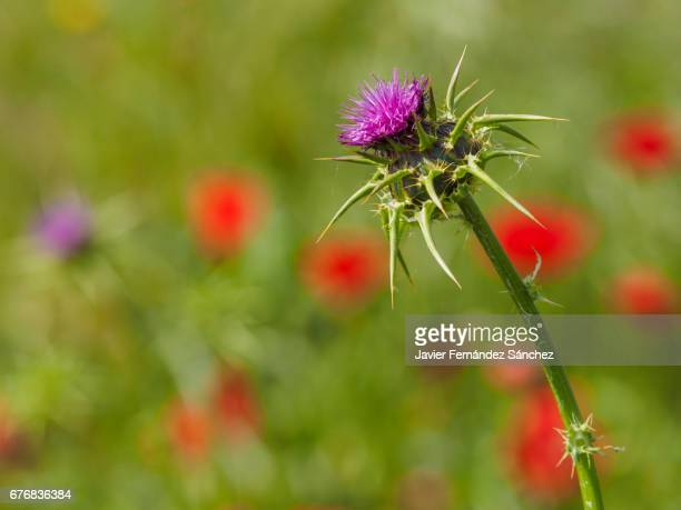 A mosaic of colors, with the foreground of the purple flower of the thistle and red on the background of the poppies, on the edge of a wheat field.