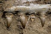 Mosasaur Jaw Bone
