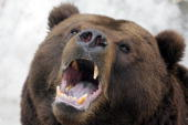 The Kamchatka brown bear named Mikhailo Potapovich yawns in his cage after awakening from the winter hibernation at the Moscow Zoo 04 April 2006 The...