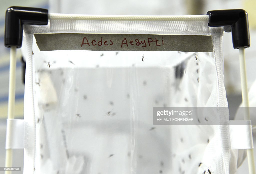 Mosqitos of the kind 'Aedes aegypti' are pictured on February 10, 2016 at the IAEA Laboratories in Seibersdorf near Traiskirchen south of Vienna, Austria. The International Atomic Energy Agency (IAEA) says that countries from around the world are showing increased interest in a technique using ionizing radiation to sterilize male insect pests to suppress the populations of mosquitoes that transmit, among others, the Zika virus. / AFP / APA / HELMUT FOHRINGER / Austria OUT