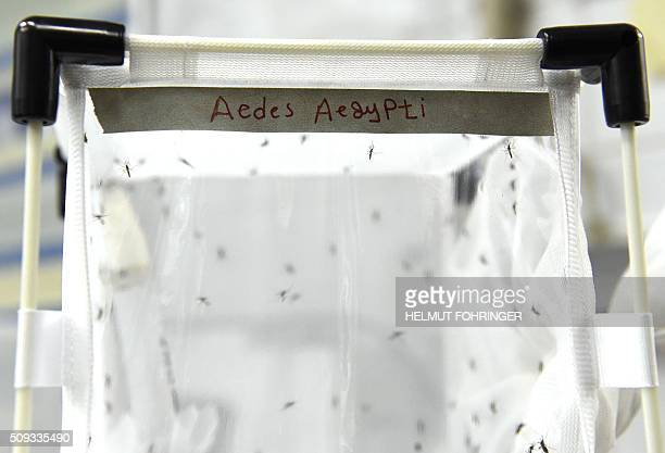 Mosqitos of the kind 'Aedes aegypti' are pictured on February 10 2016 at the IAEA Laboratories in Seibersdorf near Traiskirchen south of Vienna...