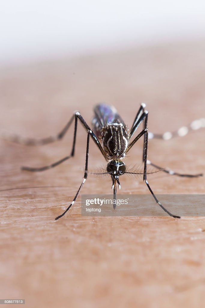 Mosquito biting : Stock Photo