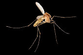 Mosquito isolated on black background.with clipping path