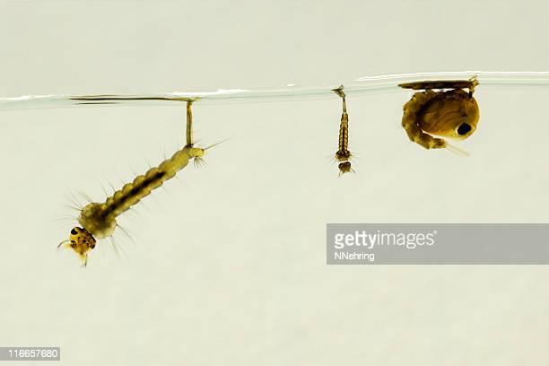 Moustique larvae et pupa, Culex pipiens