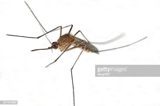 Mosquito on White