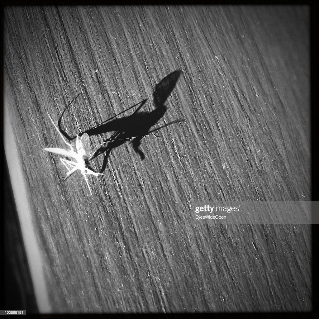 A mosquito with a long shadow on a table in a restaurant in the Alten Spinnerei on September 13, 2012 in Kolbermoor, Bavaria, Germany.