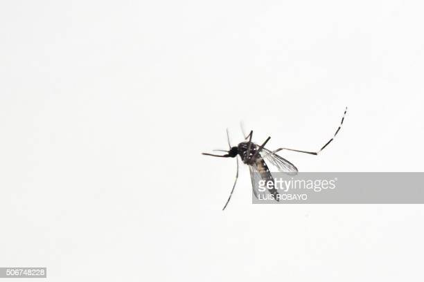 Mosquitos are seen in containers at a lab of the SIU of the Antioquia University on January 25 2016 in Medellin Antioquia department Colombia Local...