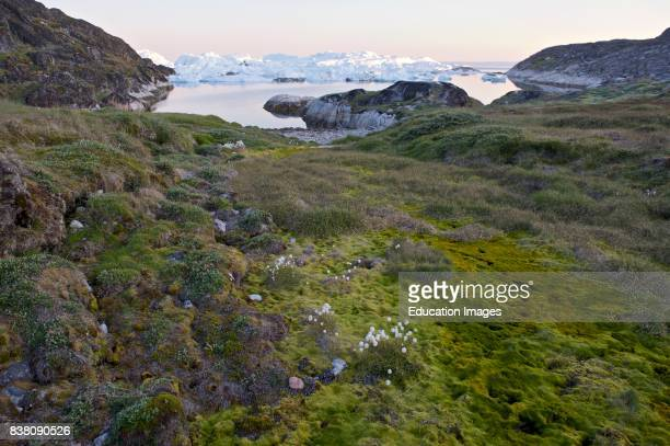 Moss and arctic cotton on the ancient Inuit settlement Sermermiut near Ilulissat western Greenland