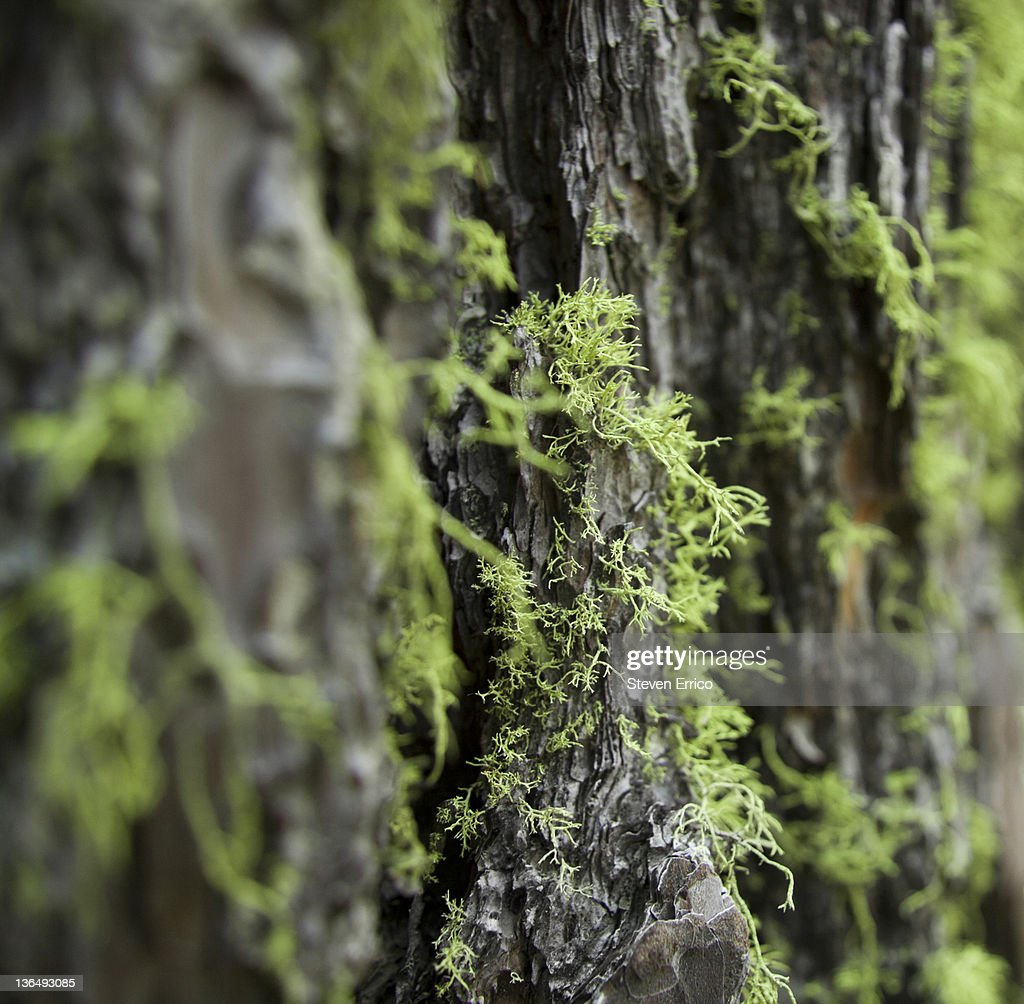 Moss and lichen on a tree trunk, close-up : Stock Photo