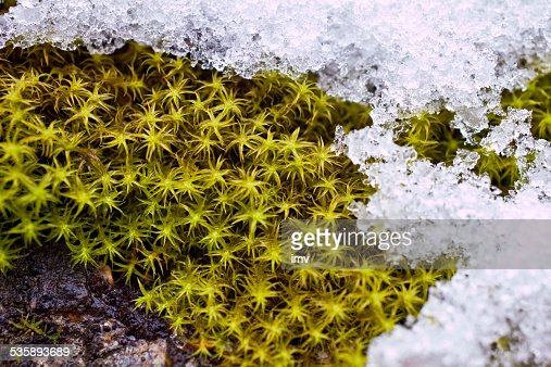 Moss and snow : Stock Photo